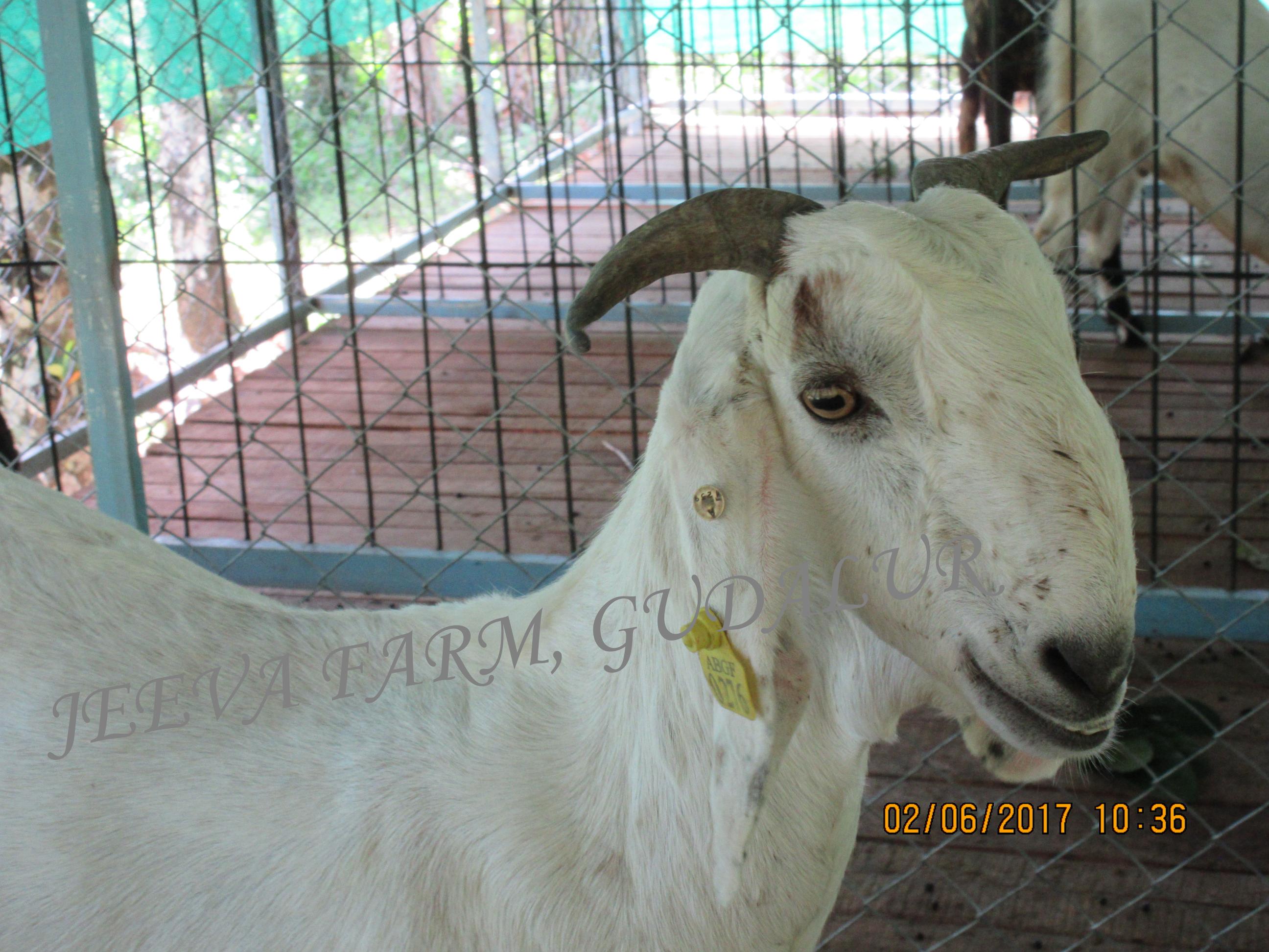 Goats – Jeeva Farm, Gudalur
